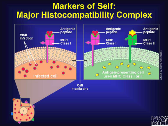 SPIRITUALITY SCIENCE - HUMAN EVOLUTION: HUMAN IDENTITY INVOLVES THE SURFACE MARKER PROTEINS FOUND ON EVERY CELL. TRANSPLANTED ORGANS AND TISSUES COULD BE REJECTED AS FOREIGN(NON-SELF) BY A HOST OR RECIPIENT FOR THE ANTIGENS ARE RECOGNIZED AS NON-SELF.