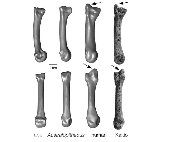 SPIRITUALITY SCIENCE - THE ORIGIN OF HUMAN SPECIES: COMPARATIVE ANATOMY IS USED AS EVIDENCE TO VALIDATE THE THEORY OF EVOLUTION. THIS PHOTO IMAGE OF METACARPAL BONES OF DIFFERENT SPECIES COMPARES THE STYLOID PROCESS AT THE END OF THE BONE THAT CONNECTS TO THE WRIST. THE BONE STRUCTURE IS SIMILAR IN MAN, NEANDERTHALS, AND OTHER ARCHAIC HOMINID SPECIES THAT HAVE GRASPING THUMB AND FINGERS AND GIVE THE FUNCTIONAL ABILITY CALLED THE PRECISION GRIP.