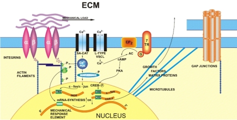 SPIRITUALITY SCIENCE - WHOLE LINGUISTICS - WHOLE LANGUAGE: THIS DIAGRAM OR MODEL OF SIGNAL TRANSDUCTION PATHWAY IN MECHANOTRANSDUCTION TO EXPLAIN MECHANOSENSITIVITY IN CELLS AND TISSUES. SOME OF THE ABBREVIATIONS ARE, EP2-PROSTAGLANDIN RECEPTOR 2, 7TR-SEVEN TRANSMEMBRANE HELIX RECEPTOR, G GTP-BINDING PROTEIN, cAMP-CYCLIC ADENOSINE MONOPHOSPHATE, PKA-PROTEIN KINASE A, PKC-PROTEIN KINASE C, CRE-cAMP RESPONSE ELEMENT. MAN HAS TO DEVISE NUMEROUS TERMS TO SPEAK ABOUT LIVING FUNCTIONS WHICH TAKE PLACE WITH NO CONCERN FOR USING VOCABULARY.