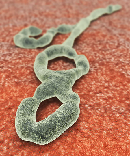 SPIRITUALITY SCIENCE - EBOLA VIRUS - BIOTIC INTERACTIONS: SCIENTISTS HAVE DESCRIBED ABOUT SEVEN STRAINS OF THE VIRUS AND FOUR STRAINS ARE FOUND IN HUMAN INFECTIONS. IN WEST AFRICA, THE VIRUS STRAIN HAS UNDERGONE SEVERAL MUTATIONS WHILE SPREADING FROM MAN TO MAN.