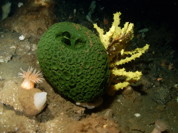 MENDEL'S  LAWS  OF  INHERITANCE  VS  HUMAN  EVOLUTION :  SPONGES  ARE  INVERTEBRATE  ANIMALS  OF  THE  PHYLUM  PORIFERA .  SPONGES  ARE  AMONG  THE  LONGEST  LIVING  ANIMAL  SPECIES  OF  EARTH .  THEY  APPEARED  IN  CAMBRIAN  PERIOD  ABOUT  570  MILLION  YEARS  AGO .  ANTARCTIC  SPONGE  CAN  LIVE  FOR  CENTURIES .  OLDEST  KNOWN  SPONGE  ESTIMATED  AGE  1, 550 YEARS .