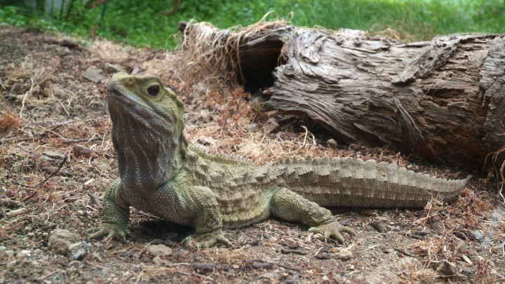 MENDEL'S  LAWS  OF  INHERITANCE  VS  HUMAN  EVOLUTION  :  SPHENODON  TUATARA  .  THIS  LIZARDLIKE  REPTILE  OF  NEW  ZEALAND  IS  KNOWN  AS  A  LIVING  FOSSIL .  THIS  SPECIES  IS  IN  EXISTENCE  FOR  ABOUT  200-225  MILLION  YEARS .