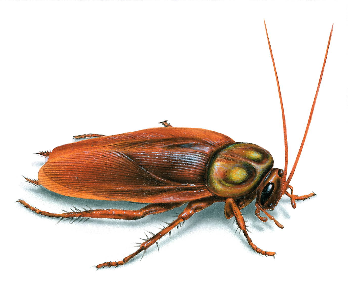 MENDEL'S  LAWS  OF  INHERITANCE  VS  HUMAN  EVOLUTION : THE  CONSTANCY  OF  THE  GENETIC  CODE  PERMIT  THE  GENES  TO  HAVE  THE  SAME  EFFECTS  ON  THEIR  CARRIERS  FROM  GENERATION  TO  GENERATION . AMERICAN  COCKROACH  IS  EXISTING  ON  EARTH  FOR  MILLIONS  OF  YEARS .