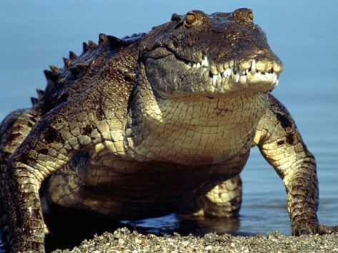 MENDEL'S  LAWS  OF  INHERITANCE  VS  HUMAN  EVOLUTION  : BASED  UPON  THEIR  UNIQUE  GENETIC  CODES,  ORGANISMS  ARE  KNOWN  TO  BE  EXISTING  UPON  EARTH  FOR  SEVERAL  MILLIONS  OF  YEARS .  CROCODILES  LIVED  ALONG  WITH  DINOSAURS .