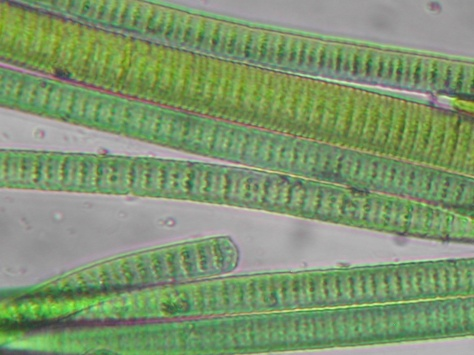 MENDEL'S  LAWS  OF  INHERITANCE  VS  HUMAN  EVOLUTION :  THE  CONSTANCY  OF  THE  GENETIC  CODE .  BLUE-GREEN  ALGAE,  CYANOBACTERIA  MAINTAIN  THEIR  SPECIES-SPECIFIC  TRAITS  FOR  BILLIONS  OF  YEARS .