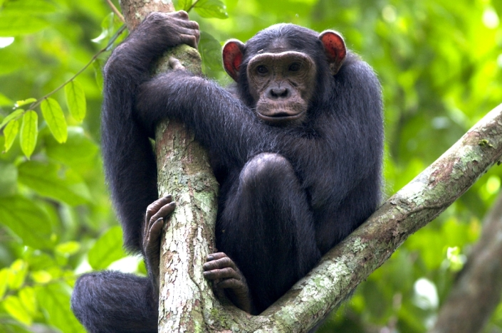 MENDEL'S  LAWS  OF  INHERITANCE  VS  HUMAN  EVOLUTION : CHIMPANZEE  IS  NOT  THE  MISSING  LINK  BETWEEN  MAN  AND  ANIMAL .
