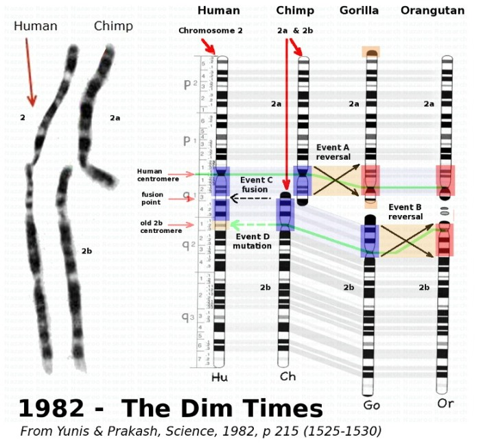 MENDEL'S  LAWS  OF  INHERITANCE  VS  HUMAN  EVOLUTION :   CHIMPANZEE  AND  OTHER  APES HAVE  48  CHROMOSOMES  WHEREAS  MAN  HAS  ONLY  46  CHROMOSOMES .  CHROMOSOMES 2a  AND  2b  FOUND  IN  APES  IS  OF  PARTICULAR  INTEREST .