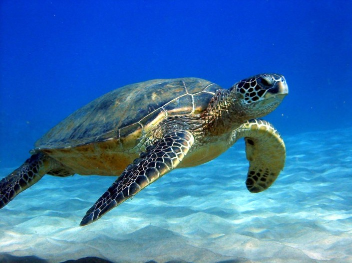 MENDEL'S  LAWS  OF  INHERITANCE  VS  HUMAN  EVOLUTION  :  THE  ORIGIN  OF  THE  GENETIC  CODE  IS  UNKNOWN .  THE  VAST  MAJORITY  OF  ORGANISMS  BREED  WITH  OTHER  MEMBERS  OF  THEIR  OWN  SPECIES  PROPAGATING  THEIR  OWN  UNIQUE  GENETIC  CODES .  WE  KNOW  ABOUT  LONG-LIVED  ORGANISMS  LIKE  SEA  TURTLES  BECAUSE  OF  THE  CONSTANCY  OF  THEIR  GENETIC  CODES .