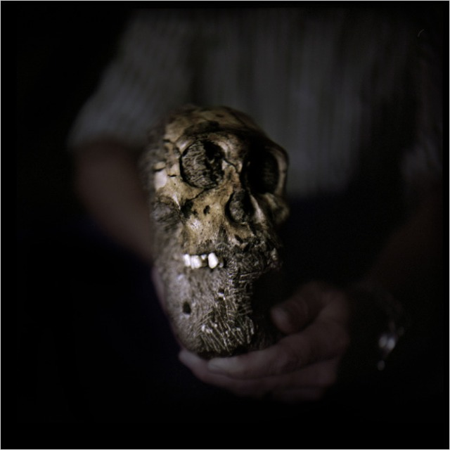 THE SKULL OF RECENTLY DISCOVERED AUSTRALOPITHECUS SEDIBA AT MALAPA SITE IN SOUTH AFRICA.