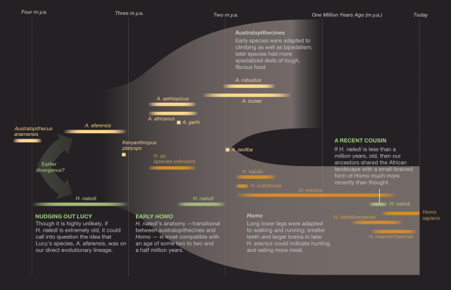 THE DISCOVERY OF HOMO NALEDI, A NEW HOMININ SPECIES IN RISING STAR CAVE. CHART SHOWS A PLACE IN TIME FOR THIS RECENT DISCOVERY.