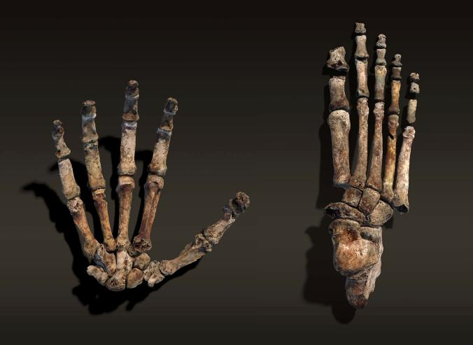 THE DISCOVERY OF HOMO NALEDI, A NEW HOMININ SPECIES. HANDS ASSEMBLED FROM IMAGES OF INDIVIDUAL FOSSIL BONES. HOMININ SHOWS ABILITY TO CLIMB WITH LONG, SLENDER FINGERS.
