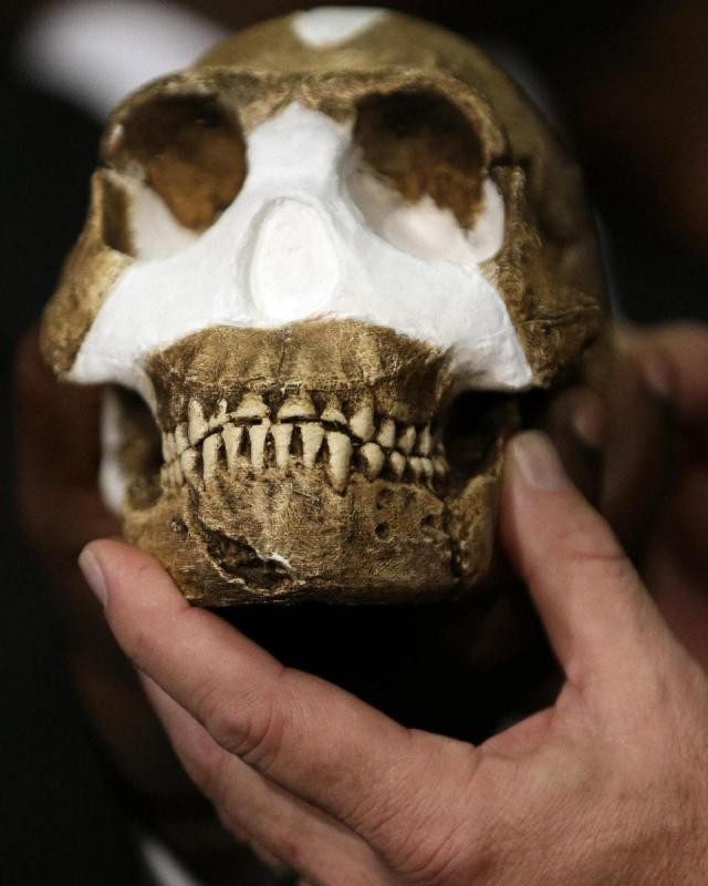 A reconstruction of Homo naledi presented during the announcement made in Magaliesburg, South Africa, Thursday, Sept. 10, 2015. Scientists say they've discovered a new member of the human family tree, revealed by a huge trove of bones in a barely accessible, pitch-dark chamber of a cave in South Africa, showing a surprising mix of human-like and more primitive characteristics. (AP Photo/Themba Hadebe)