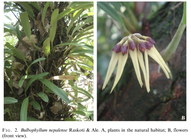 DISCOVERY OF 200 NEW SPECIES - LAW OF BIOGENERATION AND PROPAGATION. BULBOPHYLLUM NEPALENSE. NEW ORCHID SPECIES DISCOVERED IN NEPAL.