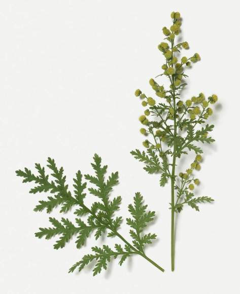Biotic Interactions - Spiritualism vs Parasitism. Artemisia annua (Sweet Wormwood) with green leaves and small yellow flowerheads on stems. Chinese Natural Medicine recorded its benefits in treating Malarial Fever.