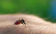 Biotic Interactions - Spiritualism vs Parasitism. Mosquito sucking blood.