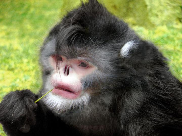 DISCOVERY OF 200 NEW SPECIES - LAW OF BIOGENERATION AND PROPAGATION. NEW MONKEY SPECIES. RHINOPITHECUS STRYKERI. SNEEZING MONKEY.