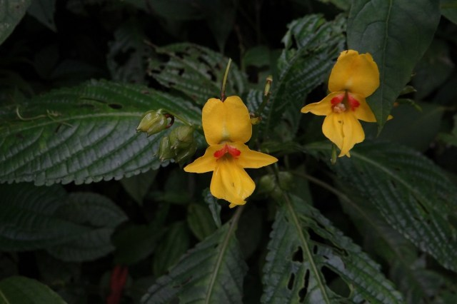 Discovery of 200 New Species - law of Biogeneration and propagation. New species Impatiens lohitensis.