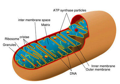 TAT ASMI PRABHU - FIFTH MAHAVAKYA - ANIMATE VS INANIMATE DUALISM. MITOCHONDRIA ARE INTRACELLULAR ORGANELLE INVOLVED IN PERFORMING OXIDATION-REDUCTION CHEMICAL REACTIONS TO OBTAIN ENERGY, AND TO GENERATE NEW FORMS OF CHEMICAL ENERGY TO PERFORM LIVING FUNCTIONS.