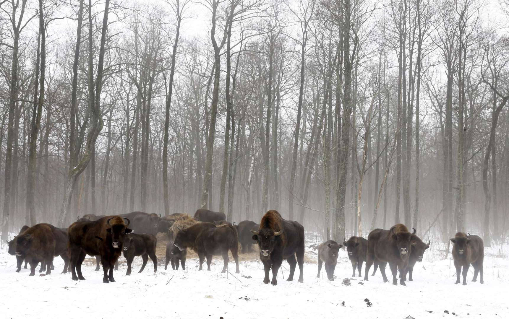 World Remembers 30th Anniversary of Chernobyl Disaster. Wildlife Returns to Exclusion Zone. Bison in Dronki Village, Belarus.