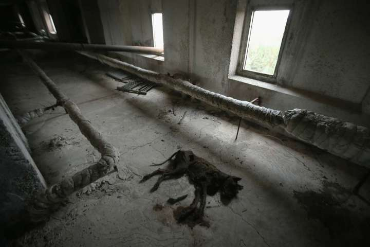 World Remembers 30th Anniversary of Chernobyl Disaster. Dog carcass in abandoned apartment building, Pripyat, Ukraine.