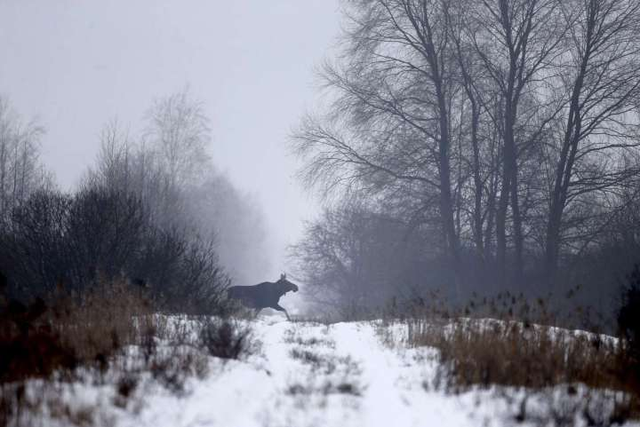 World Remembers 30th Anniversary of Chernobyl Disaster. Wildlife Returns to Exclusion Zone. Elk seen in Babchin Village, Belarus.