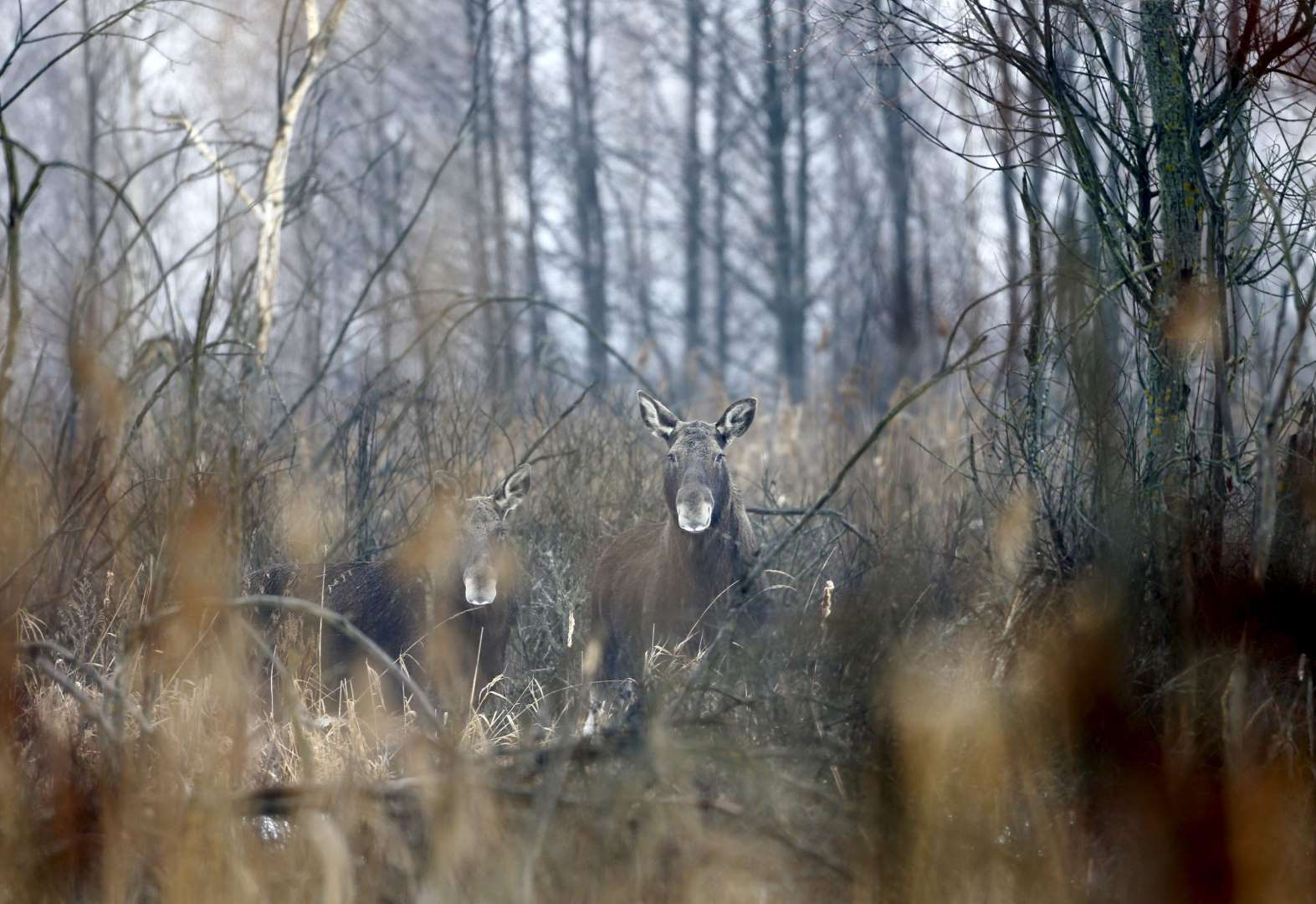 World Remembers 30th Anniversary of Chernobyl Disaster. Wildlife Returns to Exclusion Zone. Elks in Dronki Village, Belarus.
