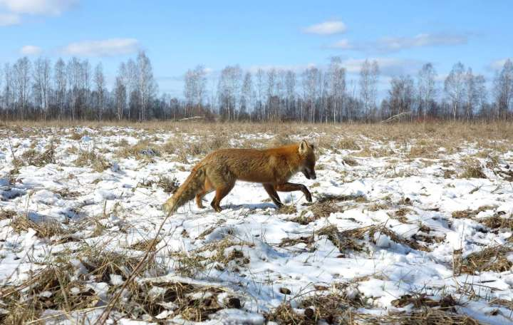 World Remembers 30th Anniversary of Chernobyl Disaster. Wildlife Returns to Exclusion Zone. Fox seen in Exclusion Zone.