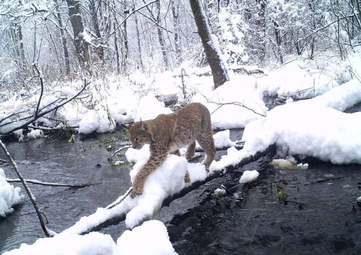 World Remembers 30th Anniversary of Chernobyl Disaster. Wildlife Returns to Exclusion Zone. Lynx seen in wild woods.