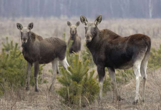 World Remembers 30th Anniversary of Chernobyl Disaster. Wildlife Returns to Exclusion Zone. Moose in Babchin Village, Belarus.