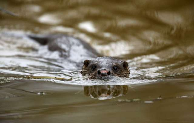 World Remembers 30th Anniversary of Chernobyl Disaster. Wildlife Returns to Exclusion Zone. Otter in river in Pogonnoe Village, Belarus.