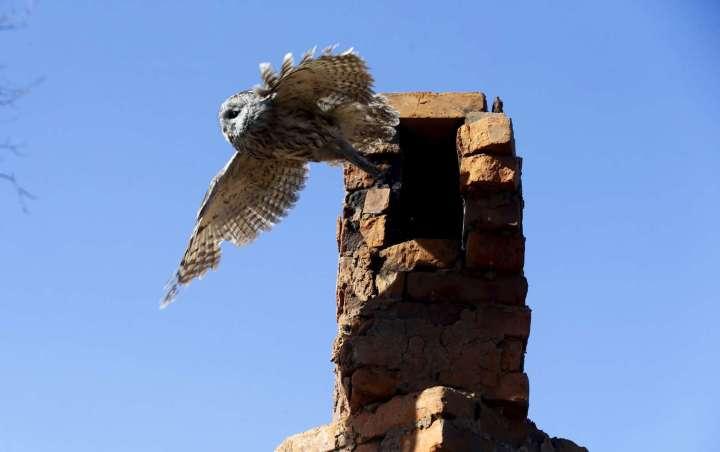 World Remembers 30th Anniversary of Chernobyl Disaster. Wildlife Returns to Exclusion Zone. Tawny Owl in Kazhushki Village, Belarus.