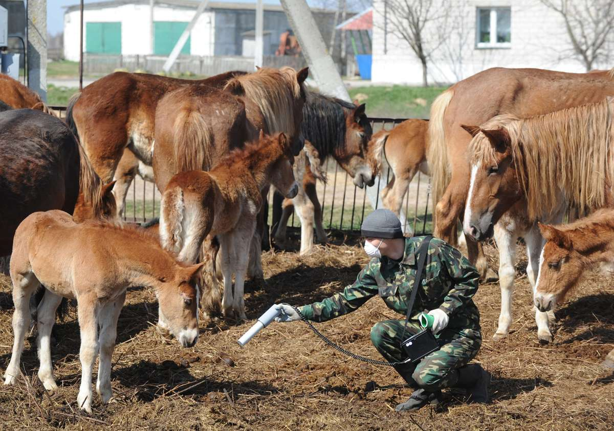 World Remembers 30th Anniversary of Chernobyl Disaster. Testing farm animals for radiation exposure in Vorotets Village, Belarus.