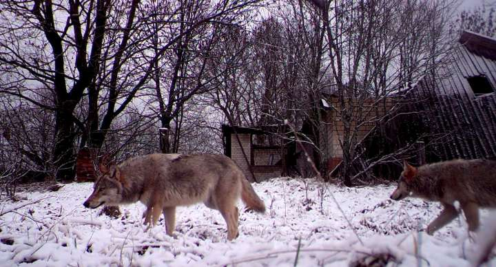 World Remembers 30th Anniversary of Chernobyl Disaster. Wildlife Rturns to Exclusion Zone. Wolf in Orevichi Village, Belarus.
