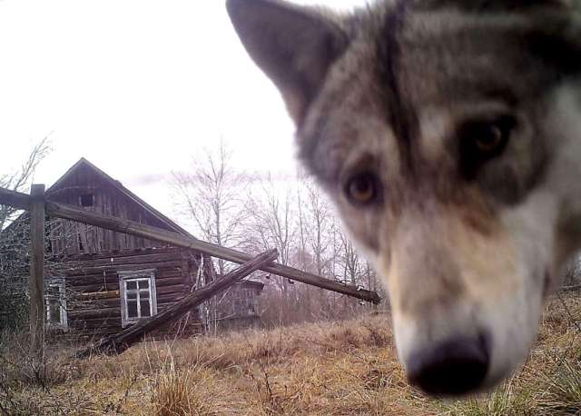 World Remembers 30th Anniversary of Chernobyl Disaster. Wildlife Returns to Exclusion Zone.