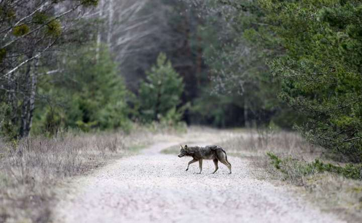 World Remembers 30th Anniversary of Chernobyl Disaster. Wildlife returns to Exclusion Zone. Wolf seen in Dronki Village, Belarus.