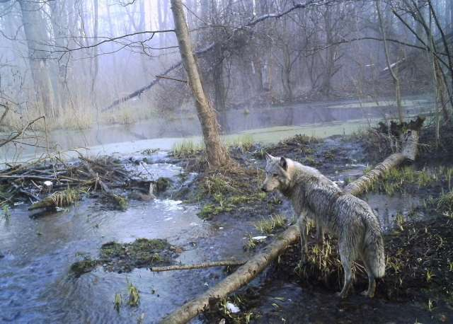 World Remembers 30th Anniversary of Chernobyl Disaster. Wildlife Returns to Exclusion Zone. Wolf seen in wild wood.