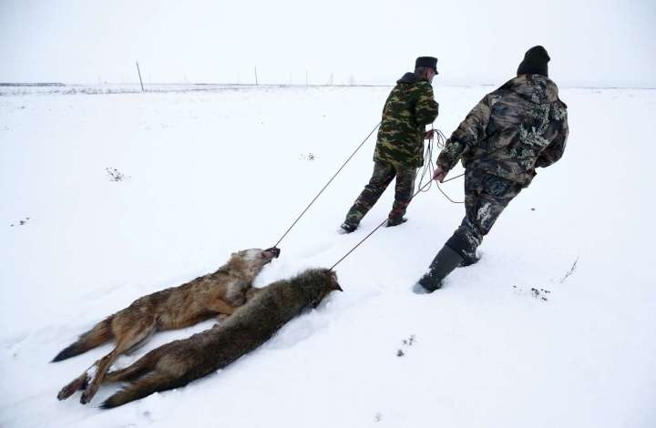 World Remembers 30th Anniversary of Chernobyl Disaster. Wildlife Returns to Exclusion Zone. Wolves killed in Khrapkov Village, outside Exclusion Zone, Belarus.