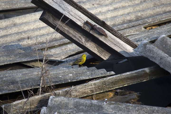 World Remembers 30th Anniversary of Chernobyl Disaster. Wildlife returns to Exclusion Zone. Yellowhammer in Orevichi Village, Belarus.