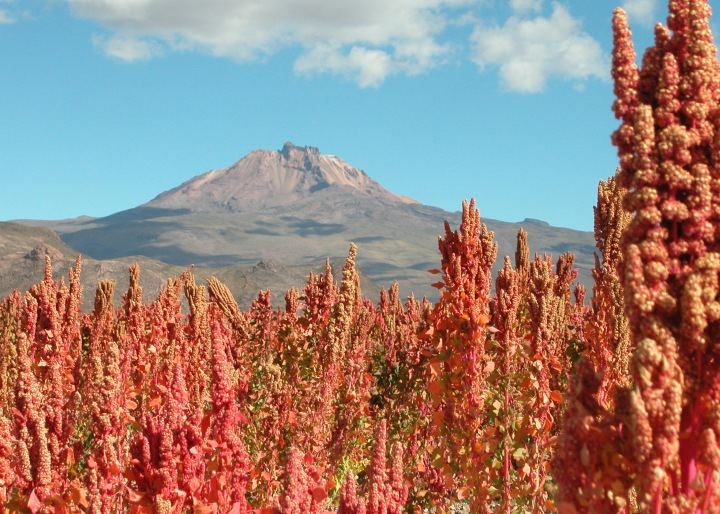 QUINOA - I AM THE SECRET INGREDIENT -MAGIC OF CREATION. QUINOA GROWN NEAR UYUNI ON THE BOLIVIAN ALTIPLANO (3653 M). MT. TUNUPA IN THE BACKGROUND.