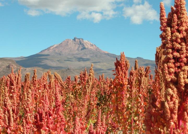 QUINOA - I AM THE SECRET INGREDIENT -MAGIC OF CREATION. QUINOA GROWN NEAR UYUNI ON THE BOLIVIAN ALTIPLANO (3653 M). MT. TUNUPA IN THE BACKGROUND.