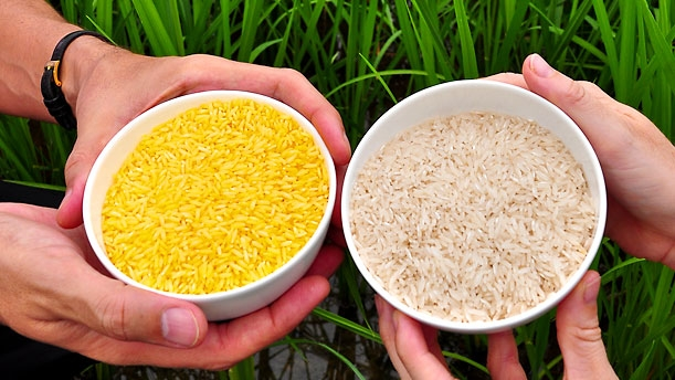SPIRITUALITY SCIENCE - GREENPEACE vs GMOs. GREENPEACE OPPOSES GOLDEN RICE FOR IT LEADS TO GENETIC POLLUTION.